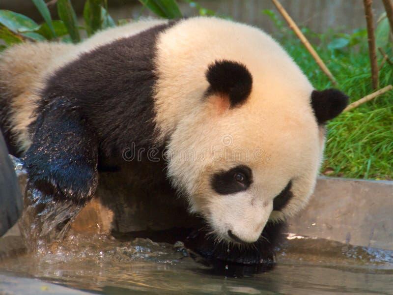 Jätte- panda som dricker i fristad i Chengdu, Kina royaltyfri fotografi