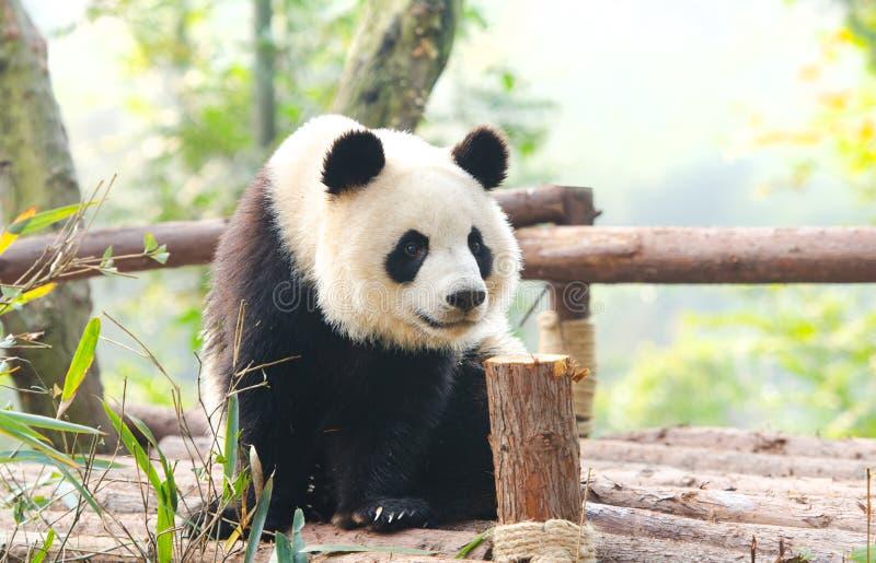 Jätte- panda som nyfiket omkring ser, Chengdu, Szechuan, Kina royaltyfri fotografi