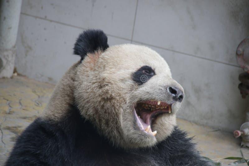 Jätte- panda, Panda Valley, Kina arkivbilder