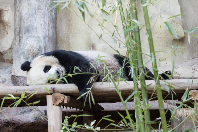Jätte- pandabjörn royaltyfri bild