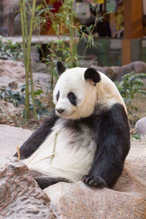 Jätte- pandabjörn arkivbilder