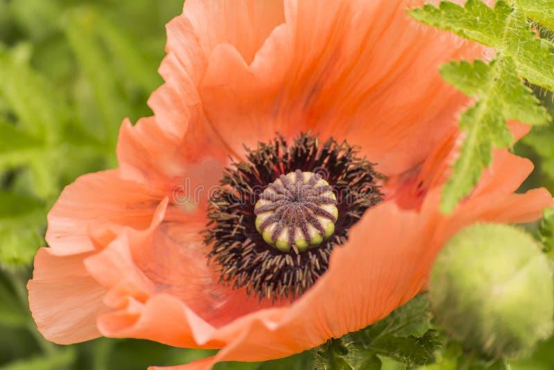 Jätte- röd Poppy On A grön bakgrund arkivbilder