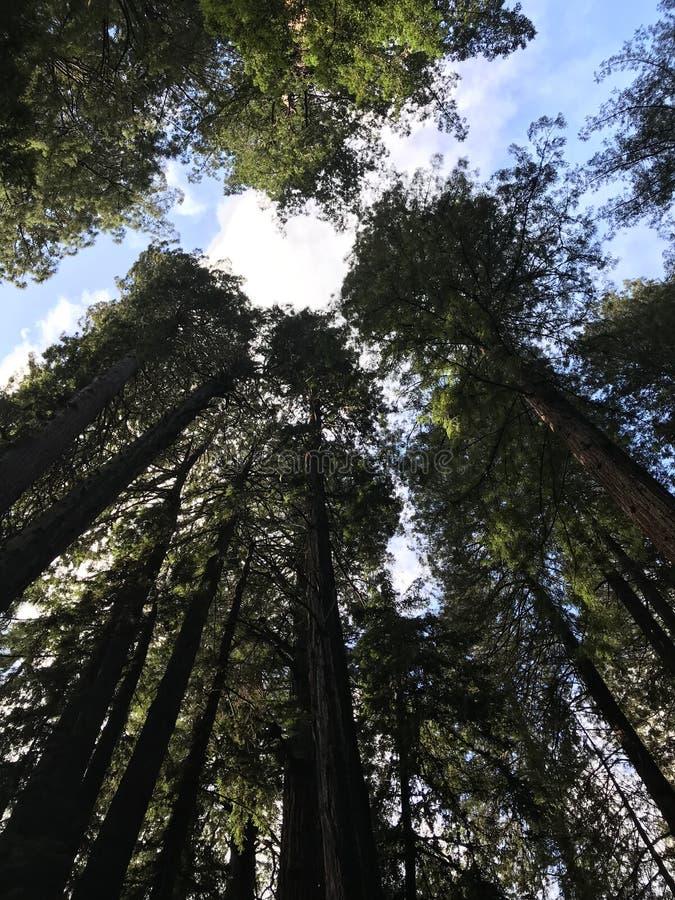 Jätte- redwoodträd i Muir Woods, Kalifornien royaltyfri bild