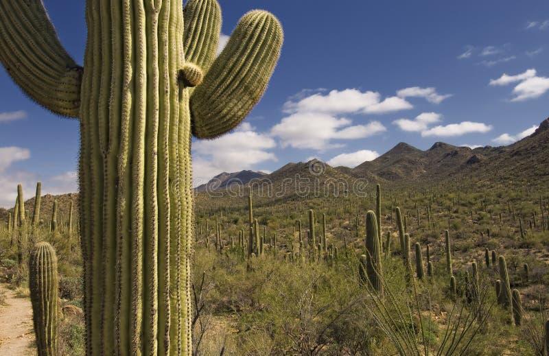 jätte- saguaro arkivfoton