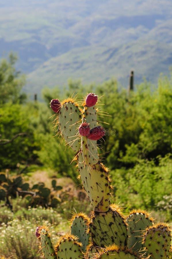 Jätte- Saguaro i sydliga Arizon arkivfoto
