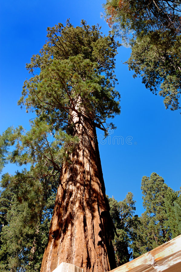 jätte- sequoia arkivfoto