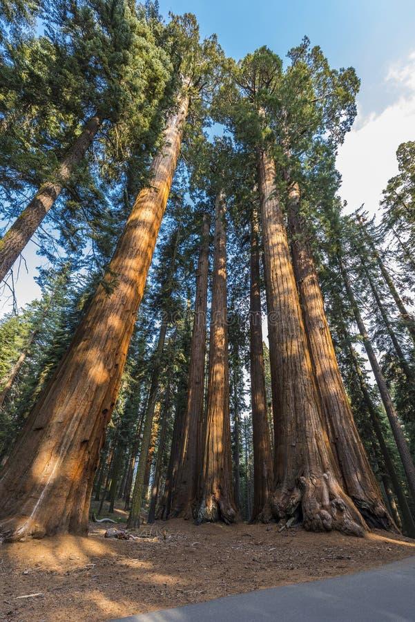 jätte- sequoiatrees arkivfoton