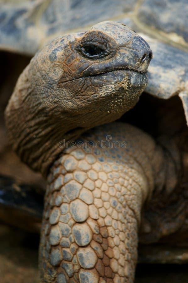 jätte- sköldpadda arkivfoto