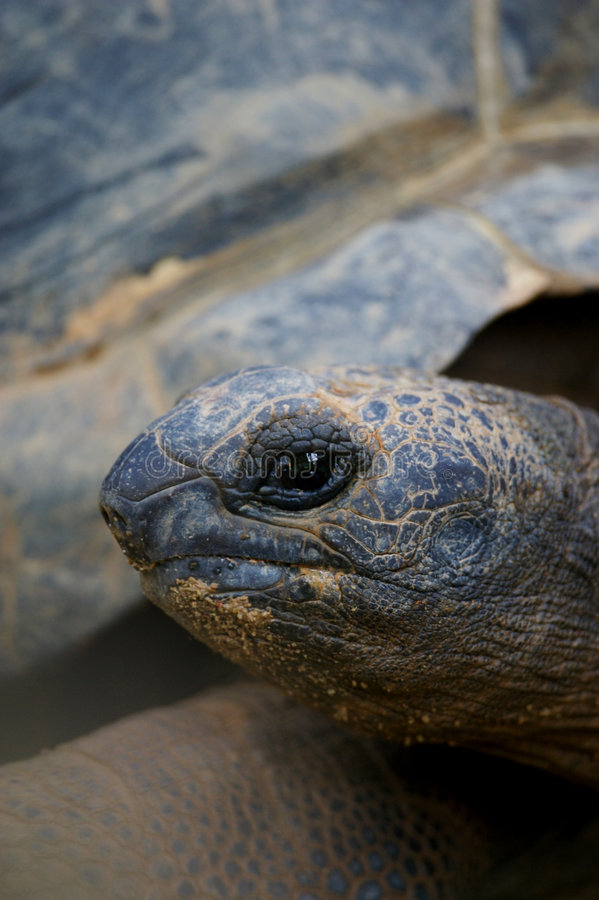 jätte- sköldpadda fotografering för bildbyråer