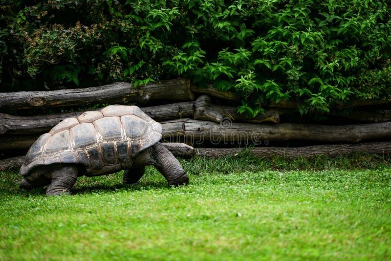 jätte- sköldpadda royaltyfria foton