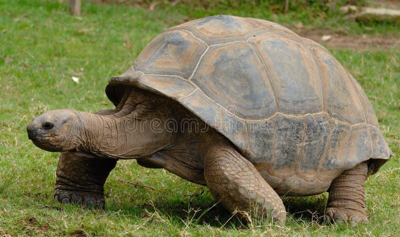 Jätte- sköldpadda för Galà ¡ pagos arkivbild