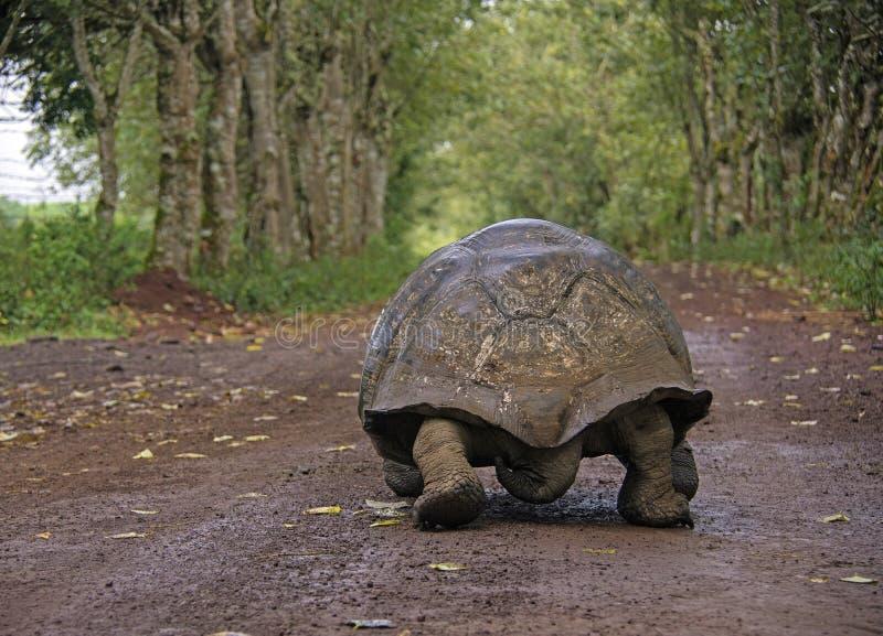 Jätte- sköldpadda, Galapagos royaltyfria foton