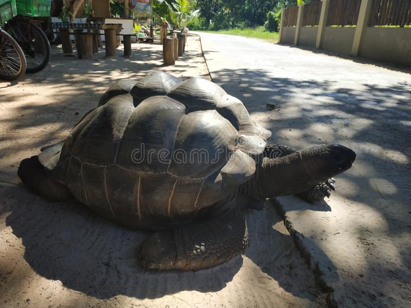 Jätte- sköldpadda på Ladigue Seychellerna arkivfoto
