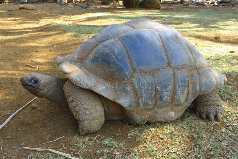 Jätte- sköldpadda på Mauritius royaltyfri foto