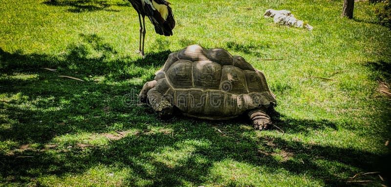 Jätte- sköldpadda som går långsamt på gräset arkivbilder