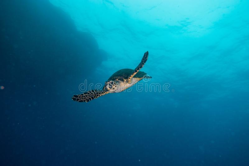 Jätte- sköldpaddor för grönt hav i Röda havet a E royaltyfri bild