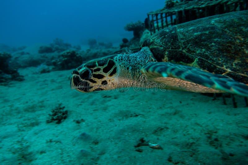 Jätte- sköldpaddor för grönt hav i Röda havet a E arkivbild
