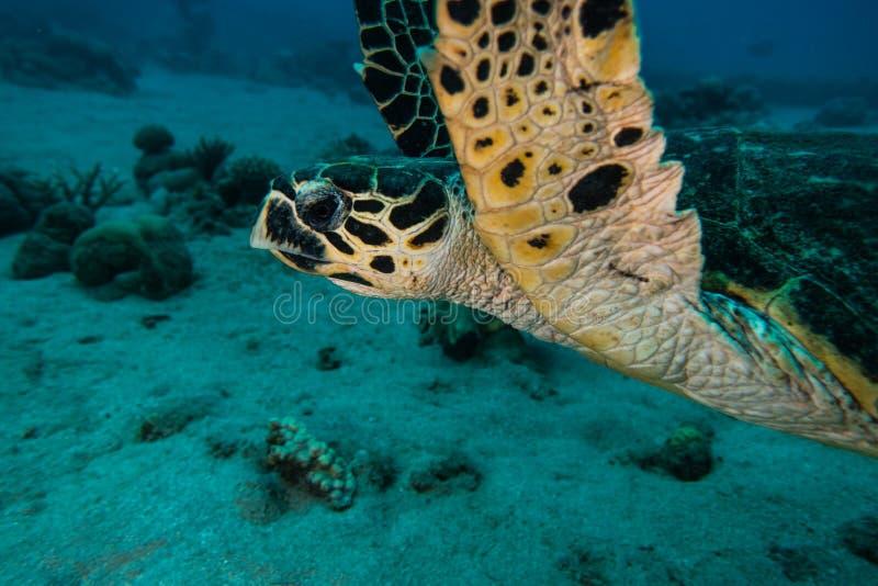 Jätte- sköldpaddor för grönt hav i Röda havet a E royaltyfria bilder