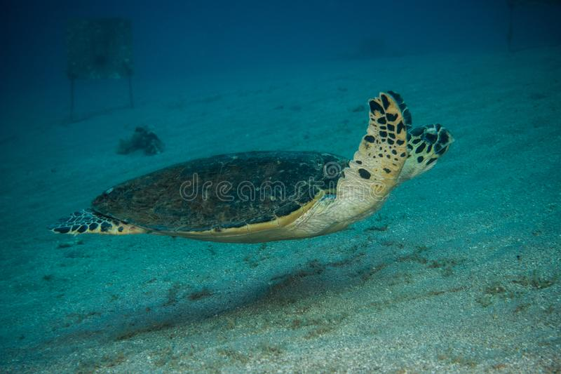 Jätte- sköldpaddor för grönt hav i Röda havet a E arkivbilder