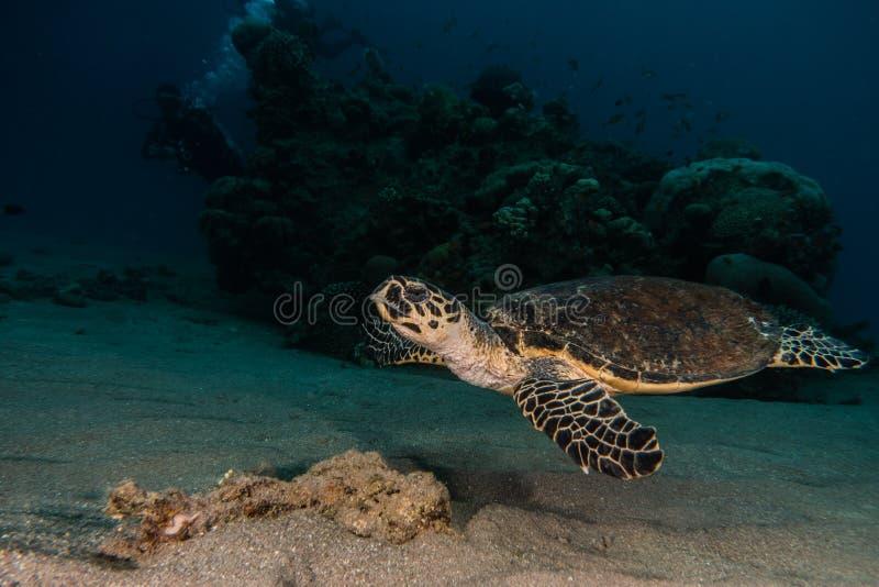 Jätte- sköldpaddor för grönt hav i Röda havet a E arkivfoto