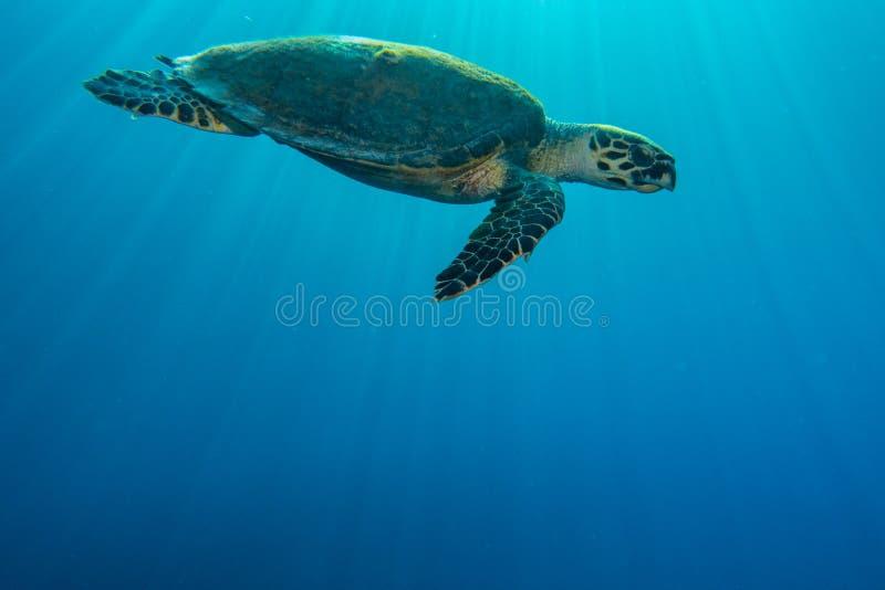 Jätte- sköldpaddor för grönt hav i Röda havet, eilat Israel a E arkivbild