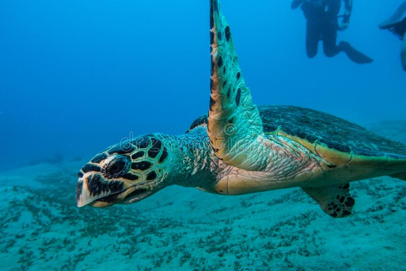 Jätte- sköldpaddor för grönt hav i Röda havet, eilat Israel a E royaltyfri bild