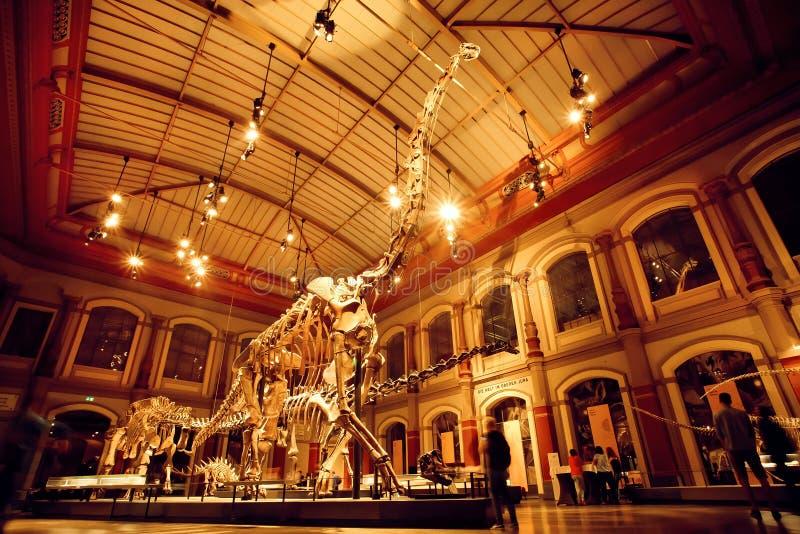 Jätte- skelett av brachiosaurusen och diplodocusen i dinosaurien Hall royaltyfri bild