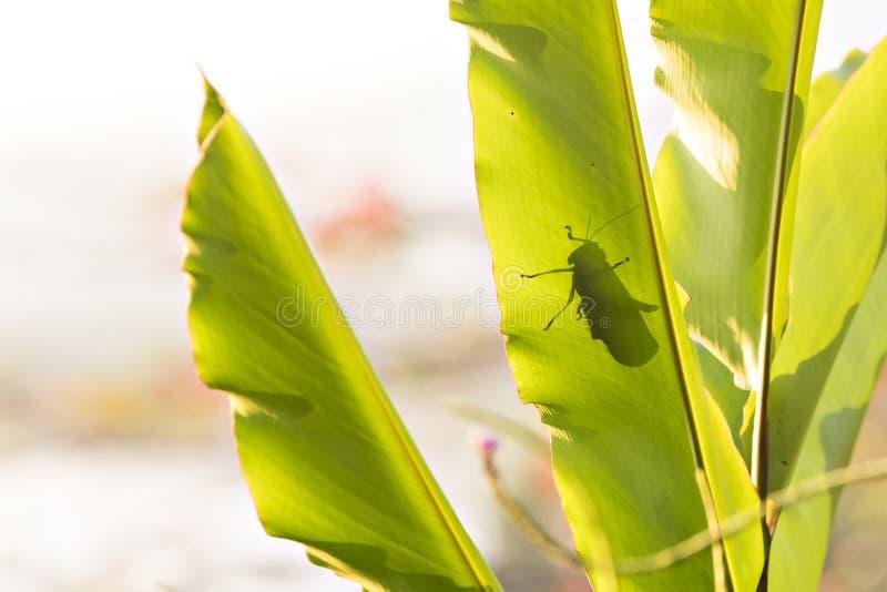 Jätte- skugga för gräshoppaTropidacris cristata på ett stort blad royaltyfri foto