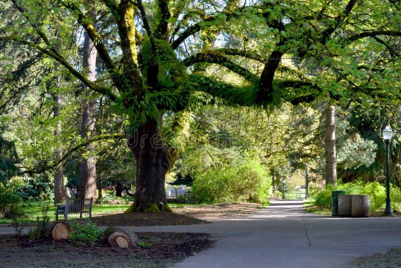 Jätte- stort bladlönnträd över trottoaren royaltyfria bilder
