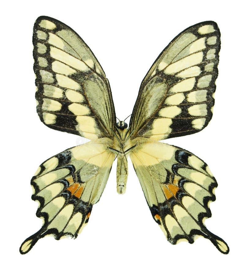 Jätte- Swallowtail Arkivbild