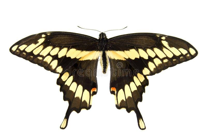 Jätte- Swallowtail Arkivfoto