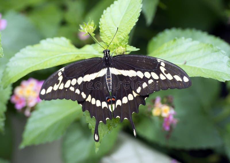 Jätte Swallowtail på ett blad royaltyfri foto