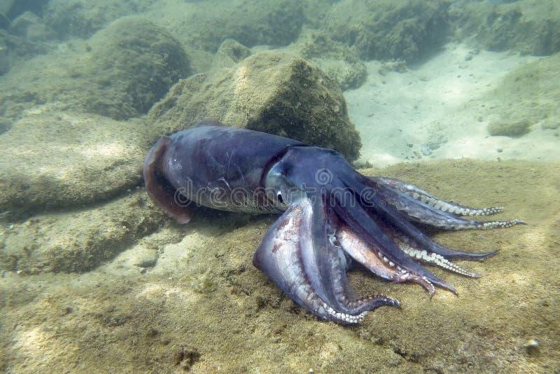 jätte- tioarmad bläckfisk fotografering för bildbyråer