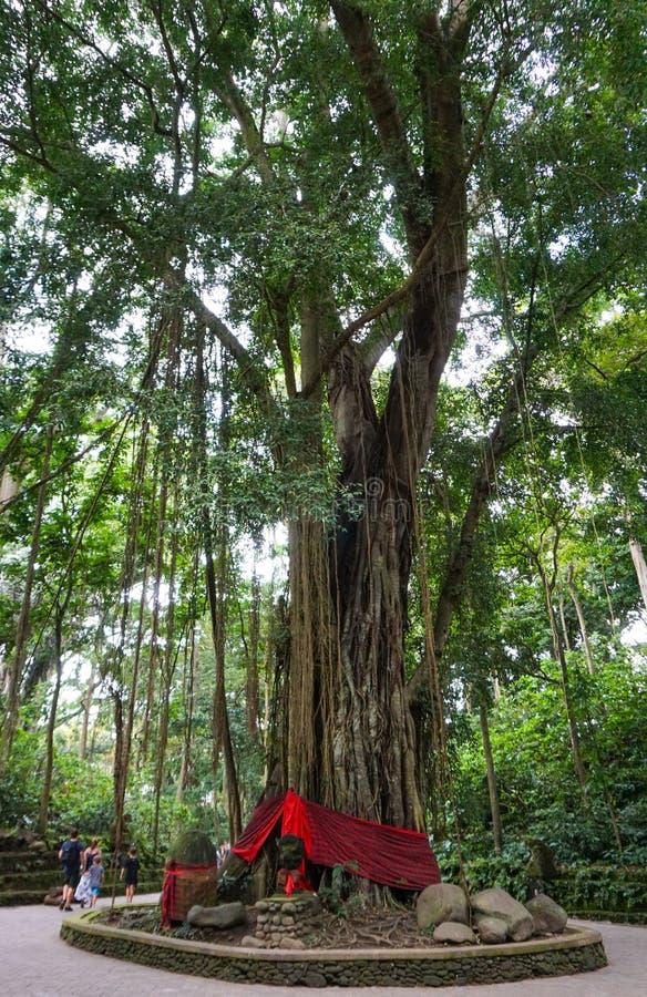 Jätte- träd för apafröskida eller gigantiskt århundrade-gammalt regnträd med den stora strukturen av filialen, Bali royaltyfri bild
