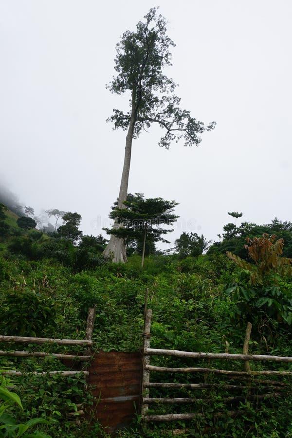 Jätte- träd i bergen av Togo, africa royaltyfri foto