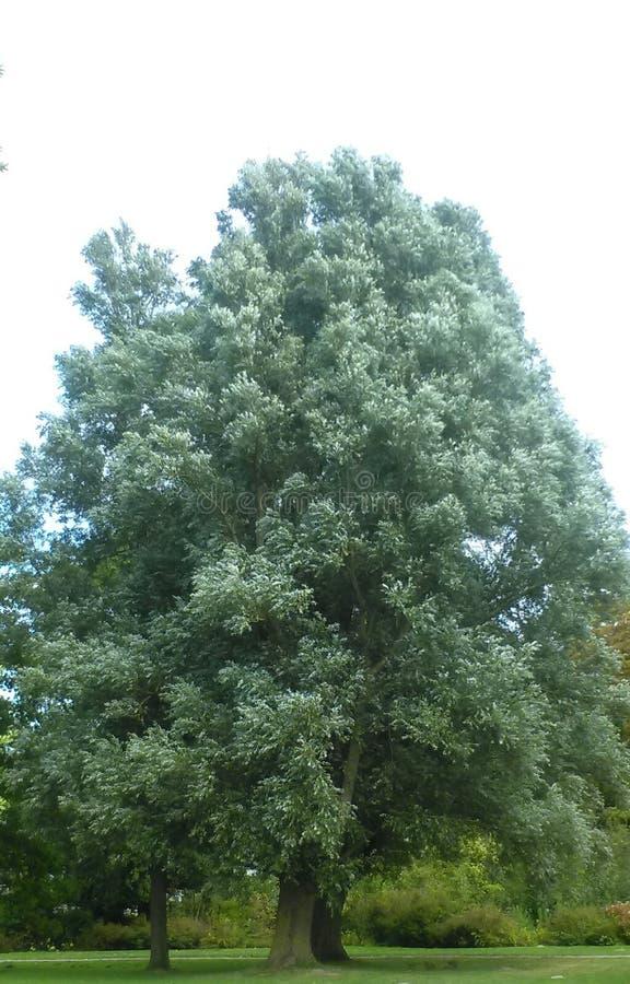 jätte- tree royaltyfri fotografi