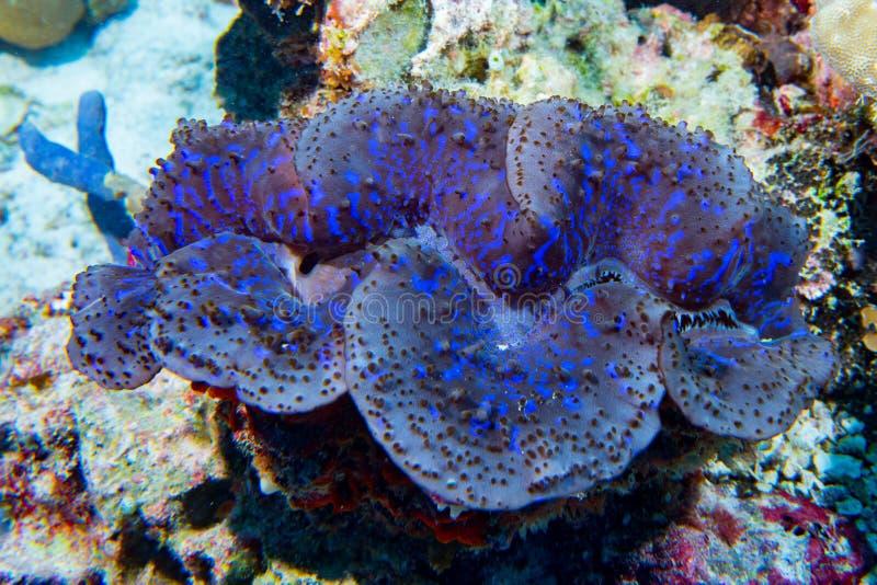 Jätte- Tridacnamussla för blå färg i Maldiverna royaltyfri bild