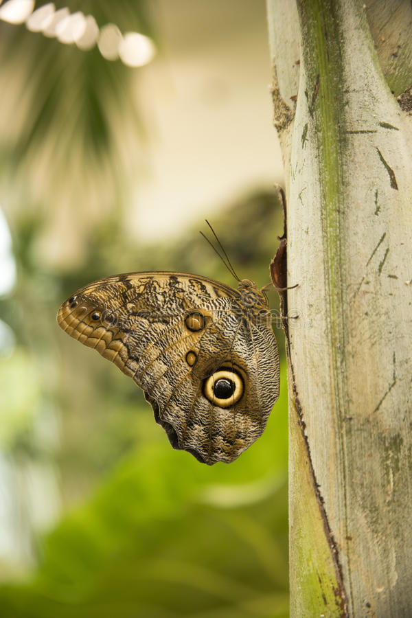 Jätte- ugglafjäril på bladet fotografering för bildbyråer