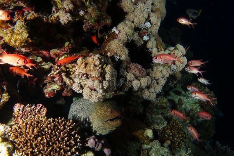 Jätte- väntan för morayål inom mörkret för jakt de röda fiskarna royaltyfri bild
