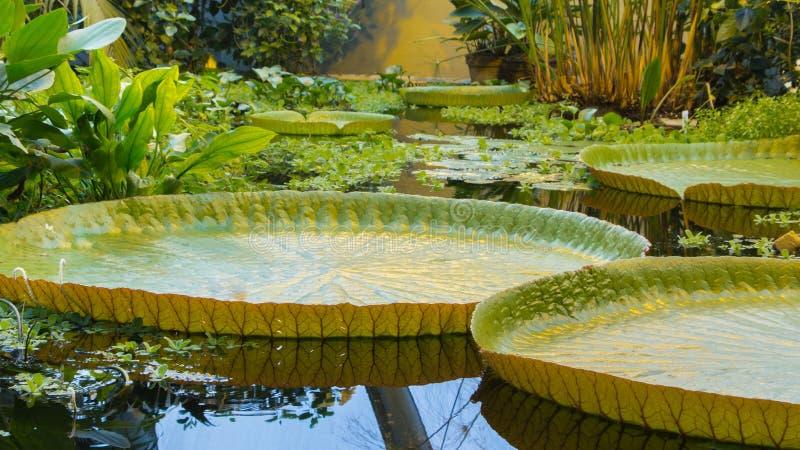 Jätte- vatten lilly royaltyfria foton