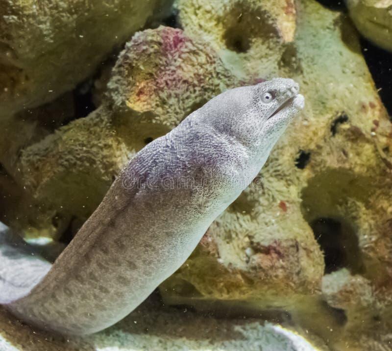Jätte- vit med den bruna prickiga morayålen i closeupen, en tropisk fiskorm som bor i hawaii royaltyfri fotografi