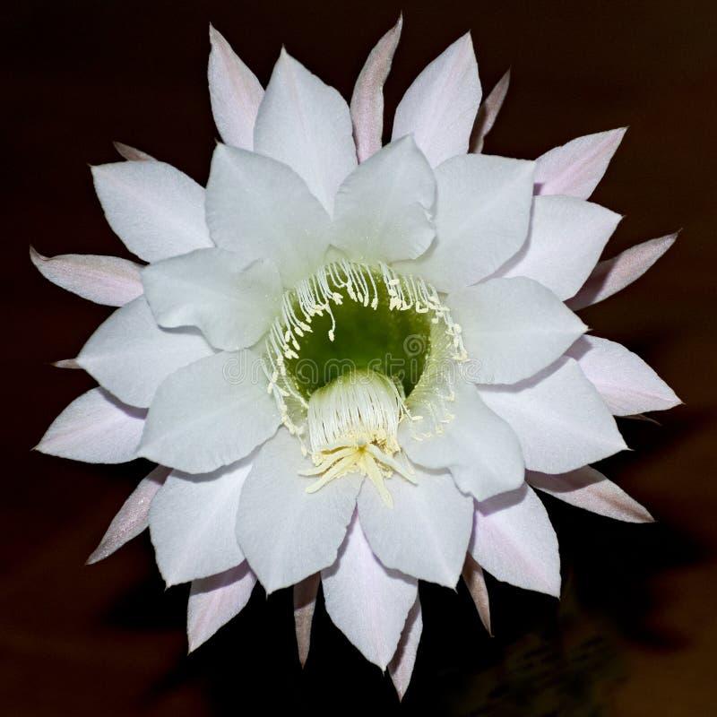 Jätte- vit natt som blommar den Echinopsis kaktusblomman royaltyfri foto