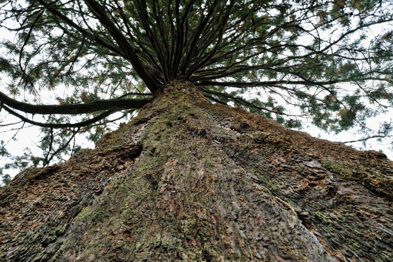 jätte- wellingtonia för redwoodträdsequoiatoppig bergskedja royaltyfri bild