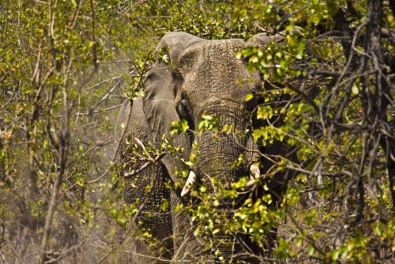 Jättelik afrikansk elefant i busken, Kruger nationalpark, Sydafrika royaltyfria foton