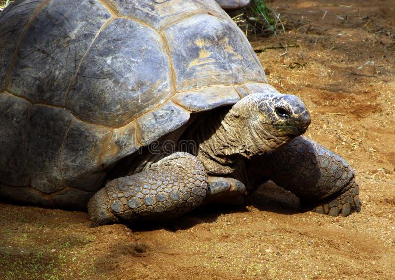 jättelik södra sköldpadda för afrikansk bergskilpad royaltyfri foto