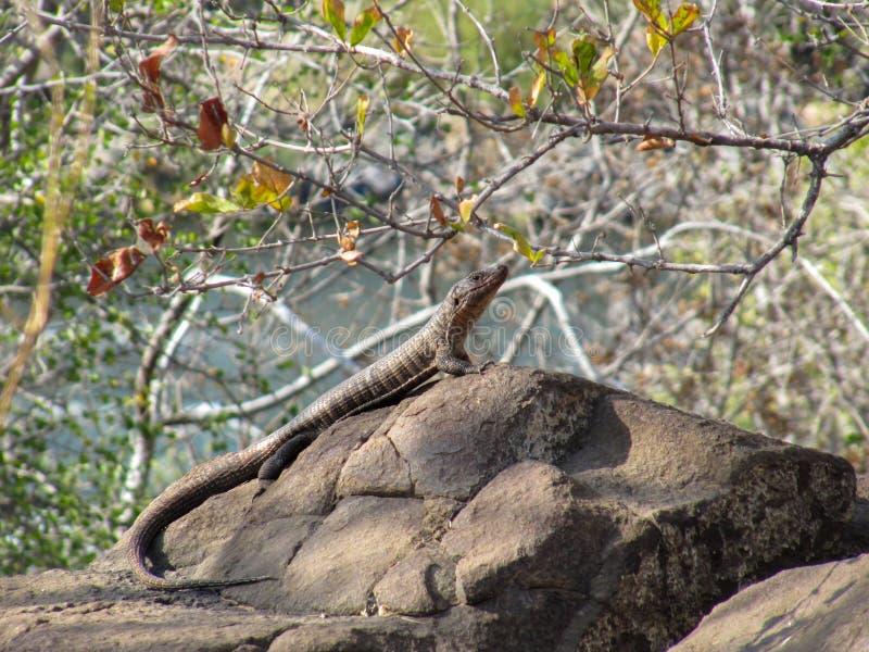 Jätten pläterade ödlan & x28; Gerrhosaurus validus& x29; i Kruger parkera, Sydafrika royaltyfri bild