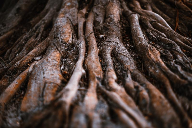 Jätten rotar av ett tropiskt träd i djungeln royaltyfri bild