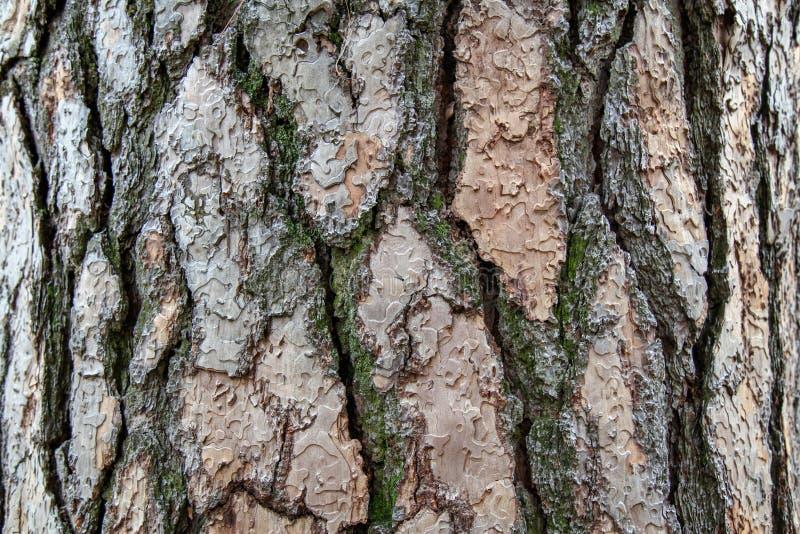 Jätten sörjer trädtextur för bakgrund i skog arkivbilder