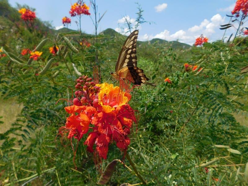 JätteSwallowtail fjäril som matar på röda blommapapiliocresphontes arkivbilder