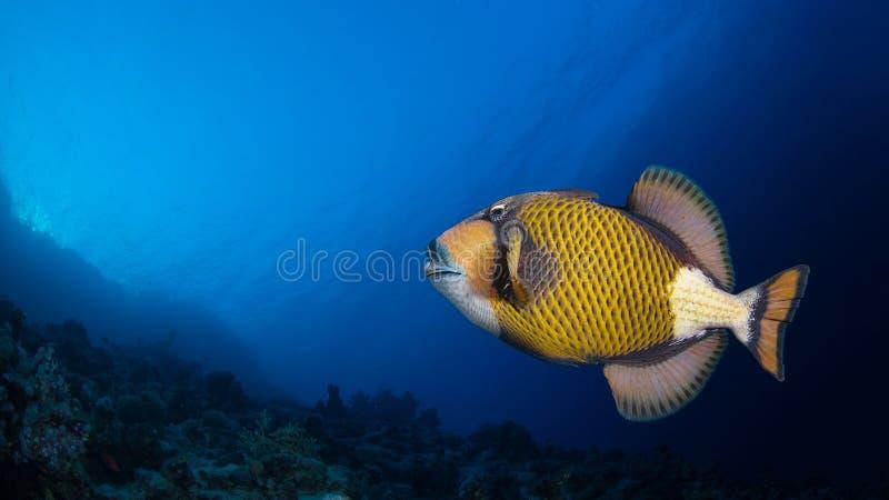 Jättetriggerfish i en korallrev arkivfoto